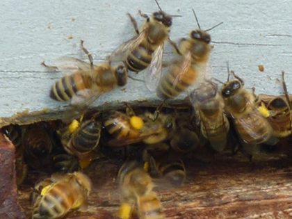Bees on entrance